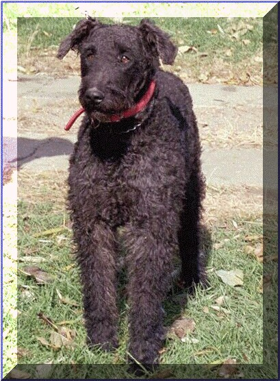 Large Airedales In Rare Red Black And Tan High Kountry